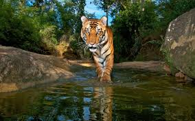 can tribes and tigers coexist in india u0027s nature reserves sierra