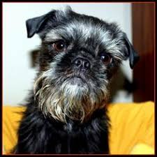 affenpinscher havanese mix belleville il affenpinscher mix meet monkey a dog for