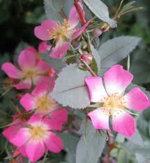 glauca rubrifolia climbing rose red leaved rose