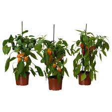 capsicum annuum pianta da vaso ikea cose da comprare
