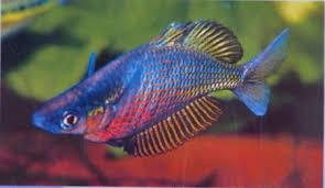 sepik rainbowfish glossolepis multisquamatus tropical