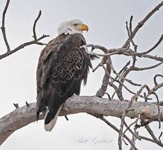Arizona Firefighters Killed 2015 by Controversy Over Bald Eagle Killed When Firefighters Cut Down Tree