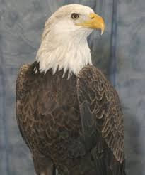 join one of the many eagle tours and events offered in