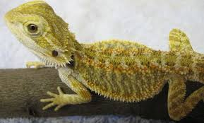 bearded dragon facts guides reptilesfamily