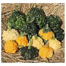 cucurbita pepo warted mix ornamental gourds kerneliv dk