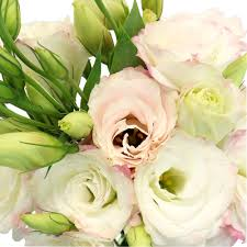 lisianthus flower of blush lisianthus flower for october to may delivery