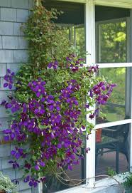 pruning clematis in early spring womanswork com