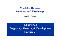 Human Anatomy And Physiology Marieb 5th Edition Chapter 28 Pregnancy Growth U0026 Development Lecture Ppt Download