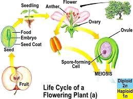 Life Cycle Of A Flowering Plant - plant apbio