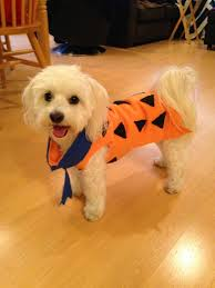 Flinstone Halloween Costume Sammie Fred Flintstone Costume Fredflintstone