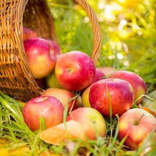 apples in autumn outdoors thanksgiving concept stock