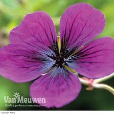 cheap hardy geranium plants for sale online buy hardy geranium