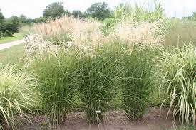 prairie bloom ornamental grass