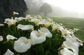 Lily Flower Garden - how to grow the arum lily from seed the garden of eaden