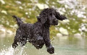 imagenes de english cocker spaniel english cocker spaniel vs field spaniel dog breed atlas