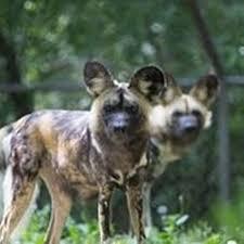 Kansas wild animals images Kansas city zoo to breed endangered african wild dogs the kansas