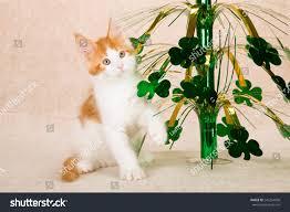 st day maine coon kitten stock photo 245254036