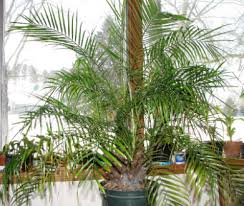 Tropical House Plants Names - best indoor palm trees types of palms to grow as tropical house