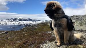 Do Newfoundlands Shed Year Round by Breed Spotlight All About The Leonberger Rover Com