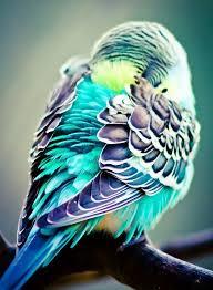 25 parakeets ideas parakeet parakeet colors