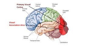 ch 14 brain u0026 cranial nerves protection 1 bones of the cranium 2