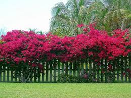 bougainvillea on fence google search gardening pinterest
