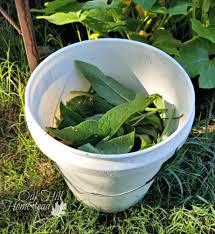 how to make comfrey tea for your garden oak hill homestead