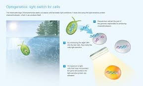 optogenetics controlling cells with light signals u2013 research magazine