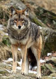 Coyote In My Backyard 70 Best Coyote Images On Pinterest Coyotes Wild Animals And