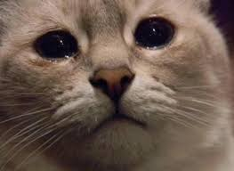Mean Cat Memes - create meme your face is a cat your face is a cat does this