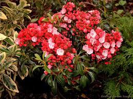 kalmia latifolia kalmia latifolia u0027little linda u0027 oriental garden supply llc