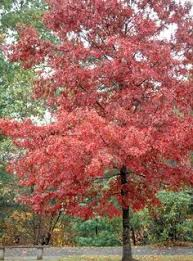 american beech for sale lowest prices guaranteed beech