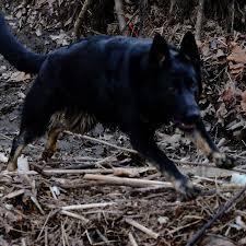 belgian shepherd ontario breeders german shepherd breeders search and rescue dogs czech border