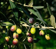 arbequina olive tree arbequina olive tree small trees and gardens