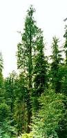 top 10 tallest tree species of the world wondermondo