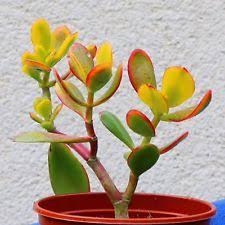 Small Desk Plants by Small Desk Evergreen House Plants Ebay