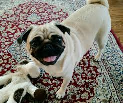 max the pug sheds like crazy his shaved haircut made him very
