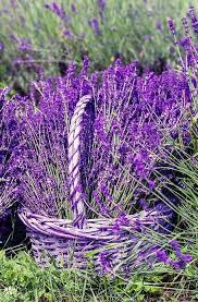pin by asiah on purple flowers and plants pinterest lavender