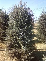 keeping christmas trees fresh christmas lights decoration
