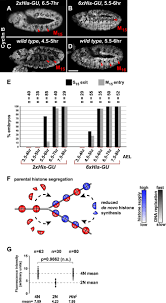 histone supply regulates s phase timing and cell cycle progression