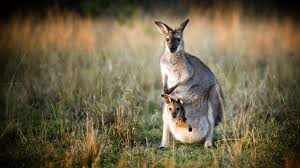 kangaroo joey ngsversion 1473419913889 jpg