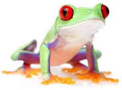 eyed tree frog care chicago exotics hospital