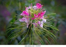 Cleome Flower - cleome hassleriana garden flower stock photos u0026 cleome hassleriana