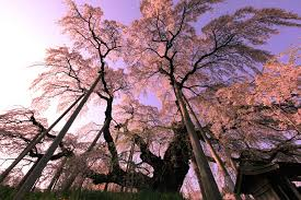 cherry blossom tree wallpaper wide b p