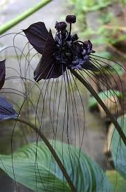 black orchid flower best 25 black orchid ideas on blue flowers