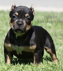 american pitbull terrier for sale in ohio blue legacy pits bully blue pitbull puppies for sale tri color