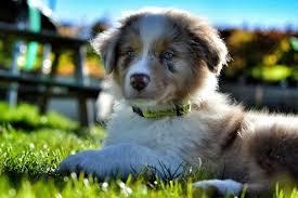australian shepherd 1 jahr gewicht australian shepherd steckbrief hundehaftpflicht check24
