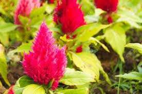 closeup of a celosia ornamental plant which has