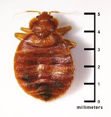 Bed Bugs How Do You Get Them Introduction To Bed Bugs Bed Bugs Get Them Out And Keep Them