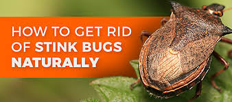 How To Get Rid Of Bed Bugs At Home How To Get Rid Of Stink Bigs Organic U0026 Natural Bug Control